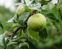 Η πράσινη Apple στον κλάδο με τις πτώσεις νερού μετά από τη βροχή Στοκ φωτογραφίες με δικαίωμα ελεύθερης χρήσης