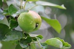 Η πράσινη Apple στον κλάδο με τις πτώσεις νερού Στοκ φωτογραφία με δικαίωμα ελεύθερης χρήσης