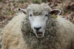 Η προβατίνα δεν λέει Στοκ Εικόνες