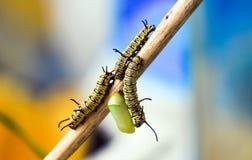 Η προνύμφη Caterpillar Στοκ Εικόνες