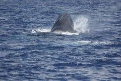 Η προσοχή φαλαινών διευθύνει επάνω Στοκ Φωτογραφία