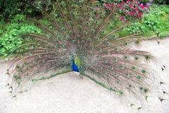 Η προσπάθεια να προσελκύσει Πουλί Peacock που παρουσιάζει φτερά του Όμορφο πουλί peafowl τη θερινή ημέρα Αρσενικό πουλί peacock στοκ φωτογραφία