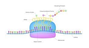 Η πρωτεϊνική σύνθεση/το ριβόσωμα συγκεντρώνει τα πρωτεϊνικά μόρια απεικόνιση αποθεμάτων