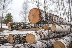 Η πρόσφατα πριονισμένη σημύδα συνδέεται το δάσος Στοκ εικόνες με δικαίωμα ελεύθερης χρήσης