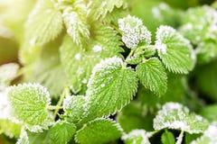 Η πρώτη πάχνη κάλυψε τα φρέσκα πράσινα nettle φύλλα το πρόωρο πρωί φθινοπώρου Εποχιακή πράξη της φύσης Αρχή του κρύου στοκ φωτογραφίες με δικαίωμα ελεύθερης χρήσης