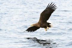 η πτήση αετών παρακολούθησε το λευκό Στοκ Εικόνα