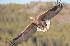 η πτήση αετών παρακολούθησε το λευκό Στοκ Φωτογραφία