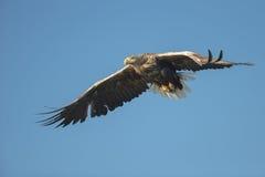 η πτήση αετών παρακολούθησε το λευκό Στοκ εικόνες με δικαίωμα ελεύθερης χρήσης