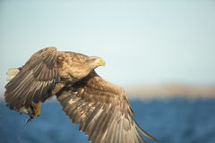η πτήση αετών παρακολούθησε το λευκό Στοκ Εικόνες
