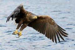 η πτήση αετών παρακολούθησε το λευκό Στοκ εικόνα με δικαίωμα ελεύθερης χρήσης
