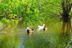 Η πτήση των παπιών κολυμπά στον ποταμό Στοκ φωτογραφία με δικαίωμα ελεύθερης χρήσης