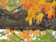 Η πτώση βγάζει φύλλα στοκ εικόνα