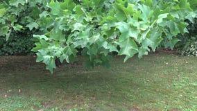 Η πτώση νερού βροχής στους διακοσμητικούς κλάδους δέντρων τουλιπών και η χλόη λιβαδιών αυξάνονται στο πάρκο κήπων 4K φιλμ μικρού μήκους