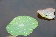 Η πτώση νερού στους αγροίκους βγάζει φύλλα Στοκ εικόνα με δικαίωμα ελεύθερης χρήσης