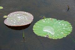 Η πτώση νερού στους αγροίκους βγάζει φύλλα Στοκ Φωτογραφίες