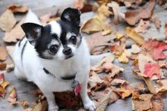 Η πτώση Chihuahua στοκ εικόνα