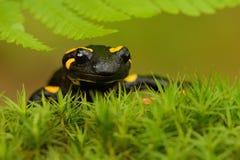 Η πυρκαγιά salamander (salamandra Salamandra) Στοκ φωτογραφία με δικαίωμα ελεύθερης χρήσης