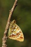 Η πλάγια όψη μιας όμορφης υψηλής καφετιάς πεταλούδας Argynnis Fritillary adippe εσκαρφάλωσε σε έναν κλαδίσκο Στοκ Φωτογραφίες