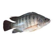 Η πλάγια όψη των ψαριών του Νείλου απομόνωσε το άσπρο υπόβαθρο στοκ φωτογραφία