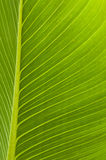 Η πλάτη άναψε το πράσινο φύλλο με τις φλέβες Στοκ Φωτογραφία