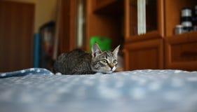 Η ριγωτή γάτα βρίσκεται στο κρεβάτι στο δωμάτιο Γκρίζα γάτα με τα όμορφα σχέδια Η γάτα κοιτάζει επίμονα σε σας στοκ εικόνα με δικαίωμα ελεύθερης χρήσης