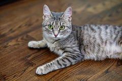 Η ριγωτή γάτα βρίσκεται στο πάτωμα στο πάτωμα η έννοια του Π Στοκ Εικόνες