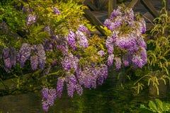 Η ρομαντική άποψη του wisteria ανθίζει την άνοιξη την εποχή στοκ εικόνες