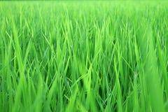 Η δροσιά ρίχνει το πολύβλαστο ρύζι Στοκ φωτογραφία με δικαίωμα ελεύθερης χρήσης