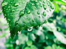 η δροσιά ρίχνει το πράσινο φ Στοκ Εικόνα