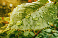 η δροσιά ρίχνει το πράσινο φ Στοκ Εικόνες