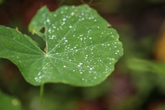 η δροσιά ρίχνει το πράσινο φ Στοκ Φωτογραφίες