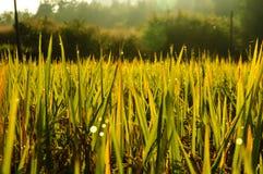 Δροσιά ορυζώνων ρυζιού στοκ φωτογραφία με δικαίωμα ελεύθερης χρήσης