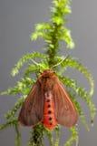 Η ροδοκόκκινη τίγρη (fuliginosa Phragmatobia) Στοκ φωτογραφία με δικαίωμα ελεύθερης χρήσης