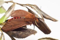 Η ροδοκόκκινη τίγρη (fuliginosa Phragmatobia) Στοκ Εικόνες