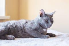 Η ρωσική μπλε γάτα είναι στον πίνακα Στοκ φωτογραφία με δικαίωμα ελεύθερης χρήσης