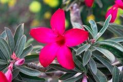 Η ρόδινη έρημος αυξήθηκε λουλούδι στον κήπο με το μουτζουρωμένο πράσινο φύλλο όμορφο ρόδινο λουλούδι αζαλεών στον κήπο στοκ εικόνες με δικαίωμα ελεύθερης χρήσης