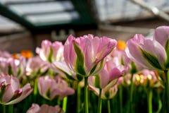 Η ρόδινη και πράσινη τουλίπα ανθίζει σε έναν κήπο σε Lisse, Κάτω Χώρες, Στοκ φωτογραφία με δικαίωμα ελεύθερης χρήσης