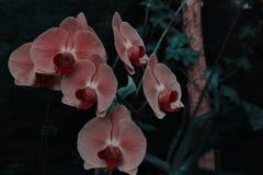 Η ρόδινη ορχιδέα dendrobium Phalaenopsis ή σκώρων ανθίζει καλοκαιριού ή άνοιξης Floral υπόβαθρο κήπων ημέρας στο τροπικό Εκλεκτικ στοκ φωτογραφία