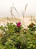 Η ρόδινη παραλία αυξήθηκε στο βακαλάο ακρωτηρίων Στοκ φωτογραφίες με δικαίωμα ελεύθερης χρήσης