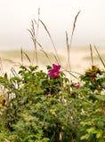 Η ρόδινη παραλία αυξήθηκε στο βακαλάο ακρωτηρίων Στοκ Εικόνες