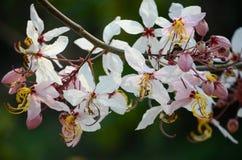 Η ρόδινη Cassia/ρόδινο buetiful λουλούδι ντους στοκ φωτογραφία με δικαίωμα ελεύθερης χρήσης