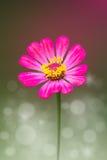 Η ρόδινη Zinnia Flower στοκ φωτογραφία