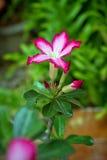 Η ρόδινη έρημος αυξήθηκε ή το λουλούδι κρίνων Impala Στοκ Φωτογραφία
