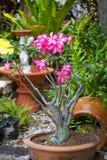 Η ρόδινη έρημος αυξήθηκε ή το λουλούδι κρίνων Impala Στοκ φωτογραφίες με δικαίωμα ελεύθερης χρήσης