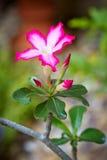 Η ρόδινη έρημος αυξήθηκε ή το λουλούδι κρίνων Impala Στοκ εικόνα με δικαίωμα ελεύθερης χρήσης