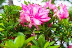 Η ρόδινη αζαλέα που ανθίζει, Rhododendron αζαλεών, μπονσάι ανθίζει, πολύβλαστο ρόδινο λουλούδι Στοκ Φωτογραφίες