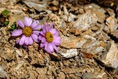 Η ρόδινη μαργαρίτα ανθίζει τις πέτρες βουνών Στοκ Εικόνες
