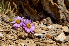 Η ρόδινη μαργαρίτα ανθίζει τις πέτρες βουνών Στοκ φωτογραφία με δικαίωμα ελεύθερης χρήσης