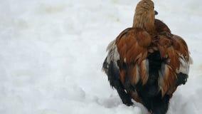 Η ρόδινη πάπια καθαρίζει τα φτερά στο χιόνι στη Ρωσία απόθεμα βίντεο