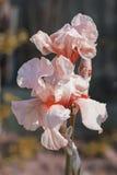 Η ρόδινη Iris (lat à  ris) τα λουλούδια, αιώνιος, ροή άνοιξη Στοκ φωτογραφία με δικαίωμα ελεύθερης χρήσης